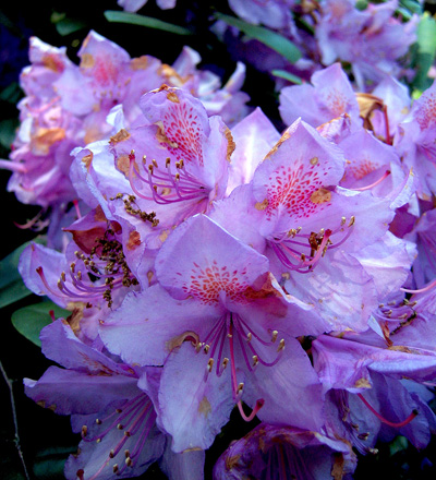 Rhododendronsymphonie