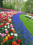 """Keukenhof Holland"" – ein blühendes Juwel"