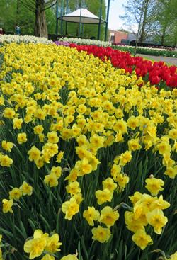Auch gelbe Narzissen zeigen zu Tausenden ihre Pracht